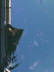 Fish waiting to be fed at Akuna Bay